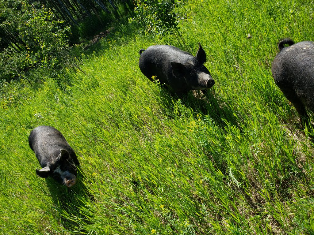 Berkshire Pigs in Meadow