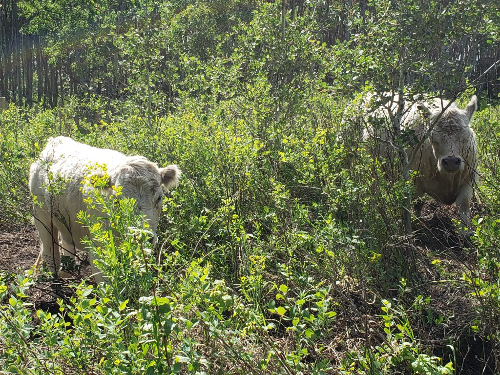 7Cs Cows in Forest