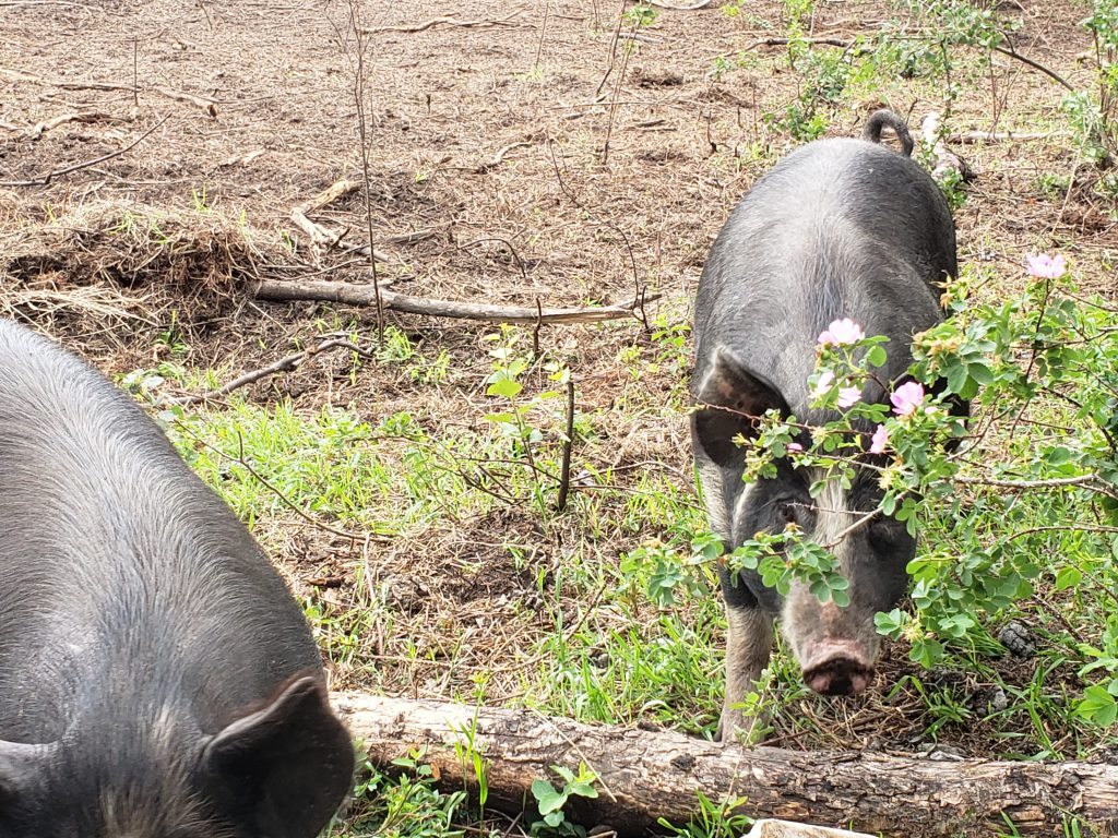 7Cs Berkshire Pigs